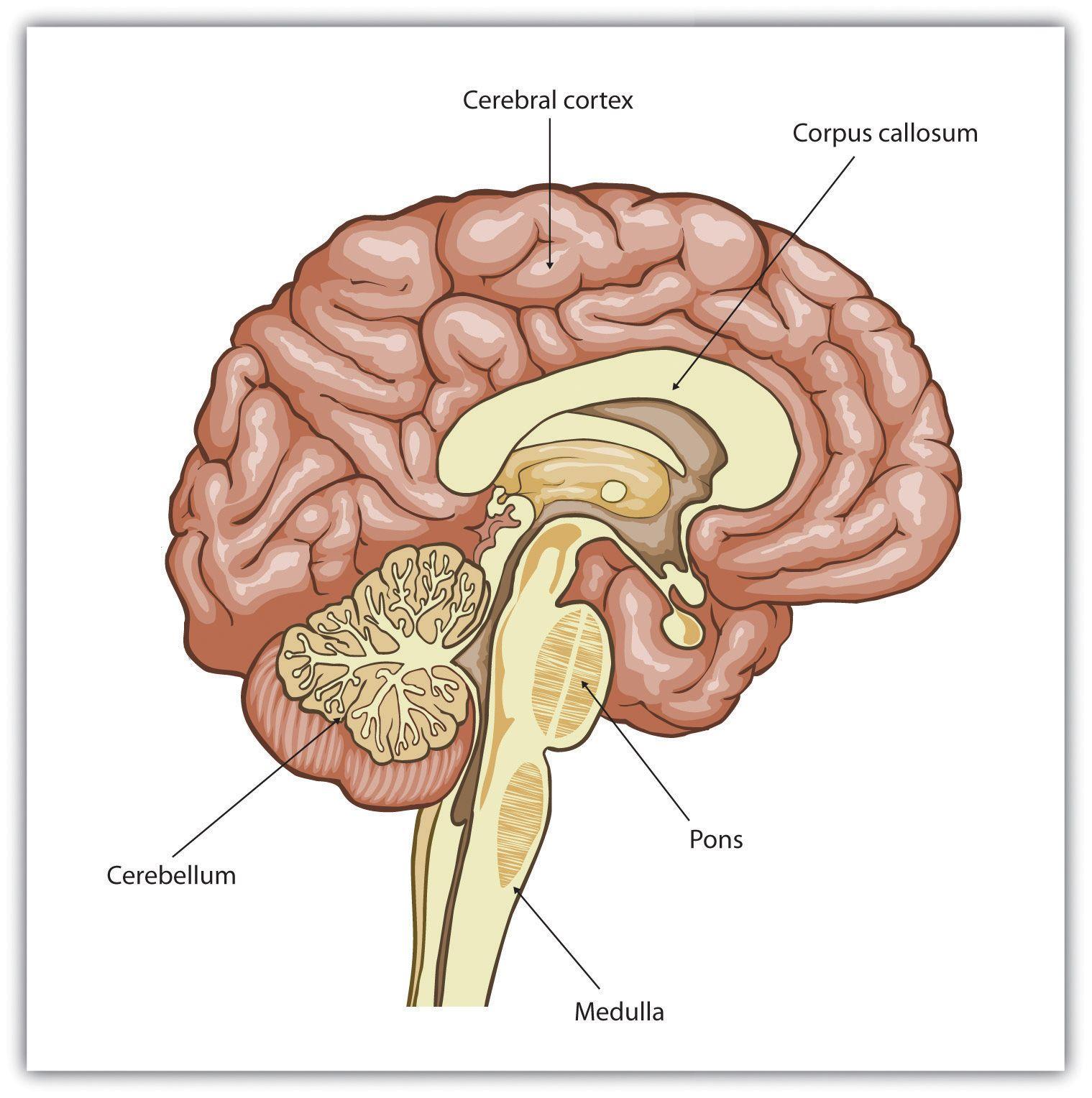 cerebral cortex - Google Search (With images) | Cerebral ...