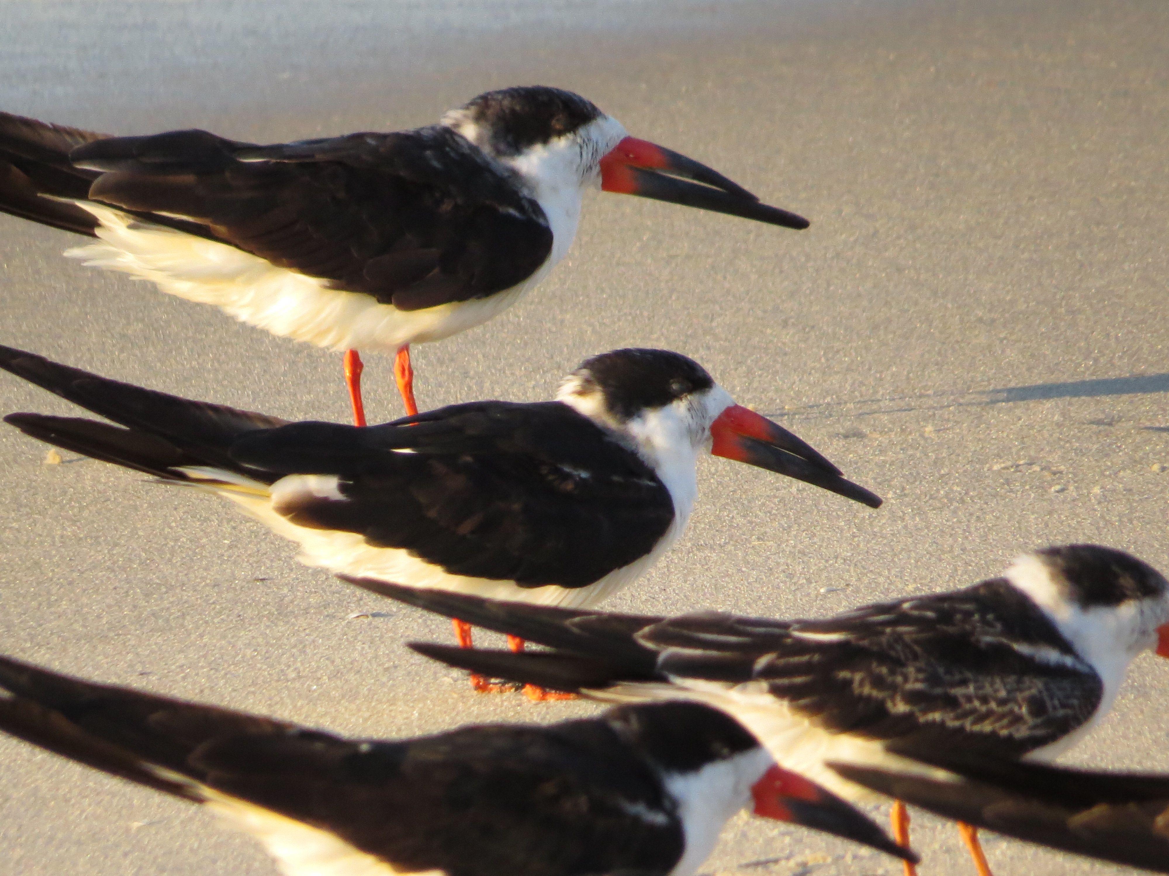 Black Skimmers, Cape May, NJ 10/26/14 Birds, Bird watching