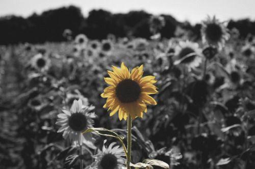 Yellow Sunflower   Yellow sunflower, Love flowers, Bloom