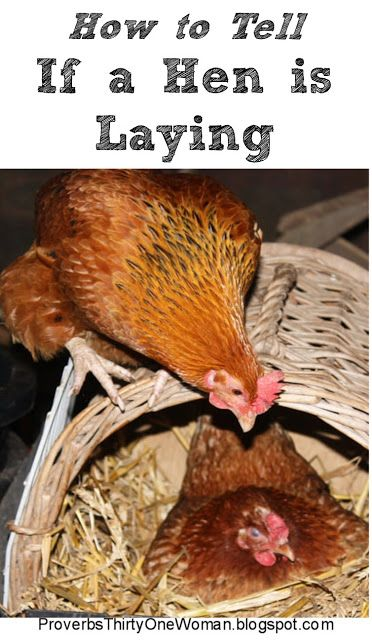 How Can I Tell If My Hen is Laying? | Chickens backyard ...