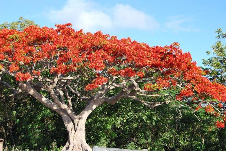 The royal poinciana, otherwise known as the flamboyant tree, is often featured on postage stamps of ... - Flickr user Matt Wade