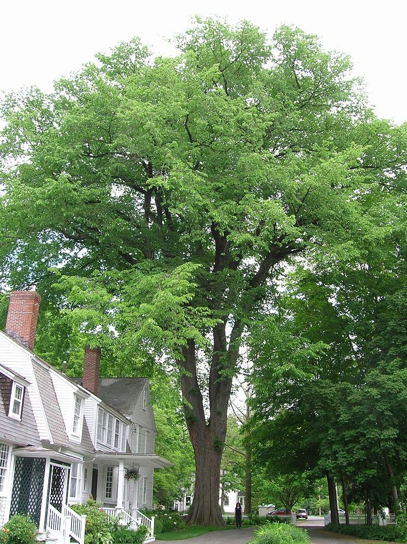 american elm fast growing trees