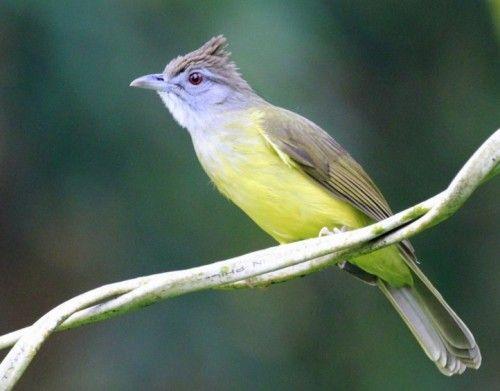 Daftar Harga Burung Cucak Jenggot Terbaru November 2015 Situsburung Com Bird Bird Perch Bulbul