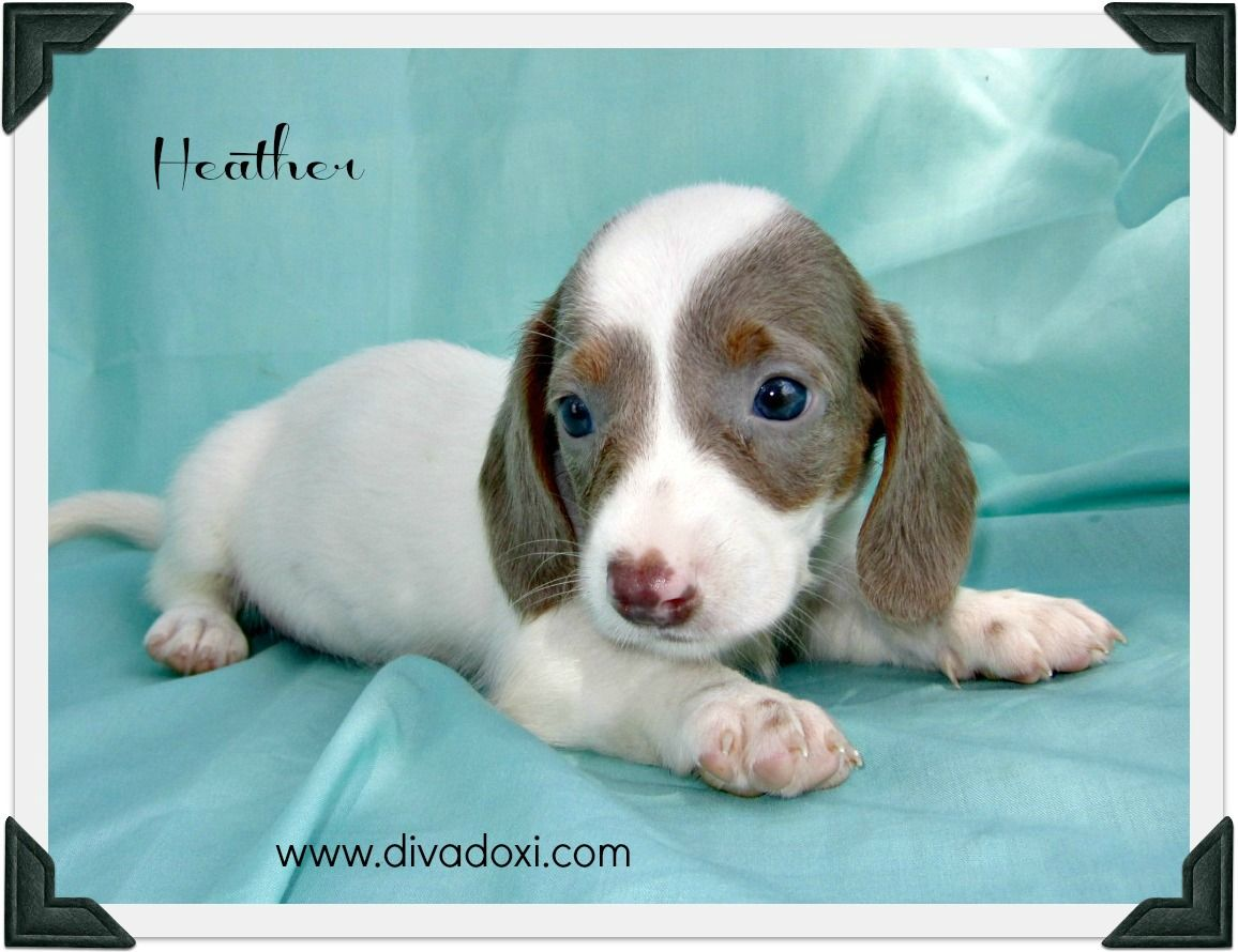 smooth coat isabella & tan extreme piebald miniature dachshund ...