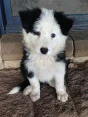 BORDER COLLIE MALE PUREBRED LONGCOAT PUPPIES puppies for