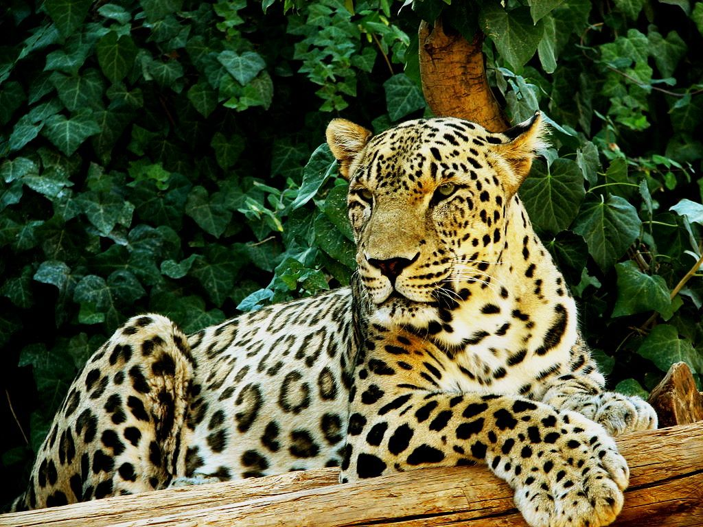 Persian Leopard The Persian leopard, also called the