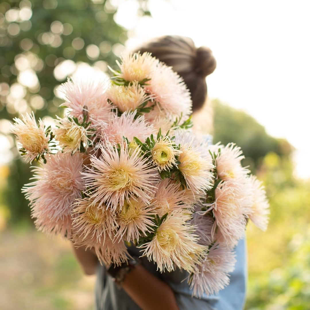 Meet China Aster Valkerie Chamois This Stunner Has Long Strong Stems And The Most Incredible Soft Apricot Needle Flowers Pretty Flowers Plant Painting Art
