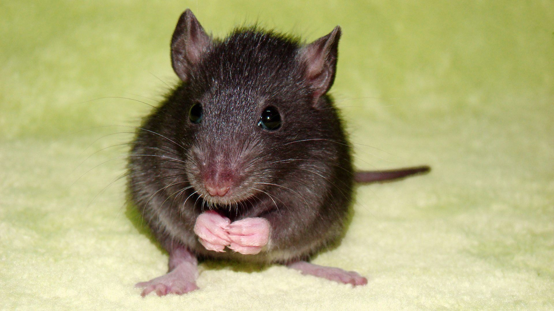 rat   Cute Rat in green color background picture   Places to Visit ...