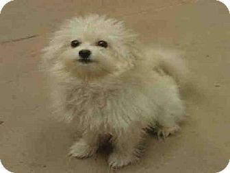 Las Vegas Nv Maltese Mix Meet Sunshine A Dog For Adoption Dog Adoption Pets Kitten Adoption