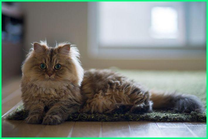 7 Hal Penting Tentang Jenis Kucing Persia Hewan Peliharaan
