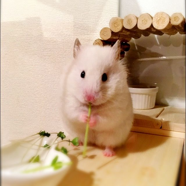 Hamster Just Catching Up On My Food Hamster Google Search