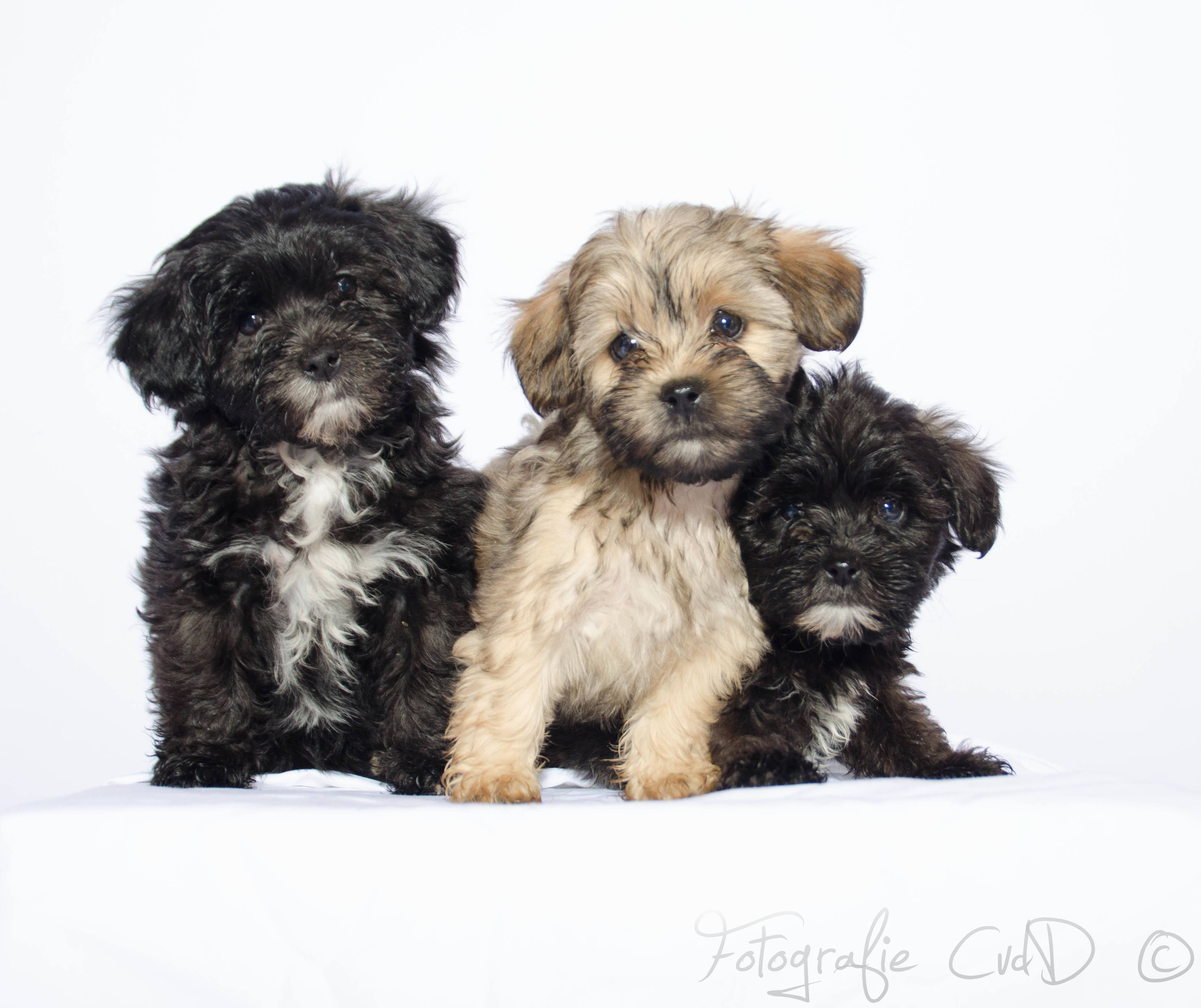 Shih Tzu x Poodle mix breed puppies consideration of