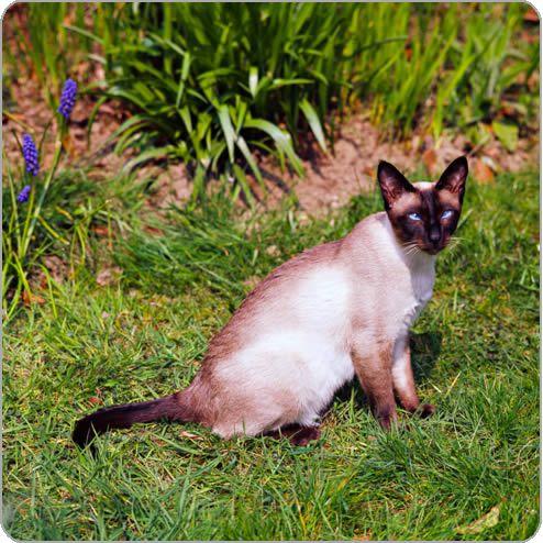 Siamese Cat Breeds Cats Pets