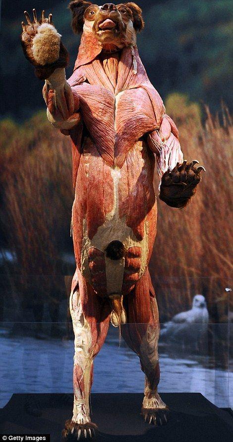 Znalezione obrazy dla zapytania bear muscle anatomy | Animal anatomy ...