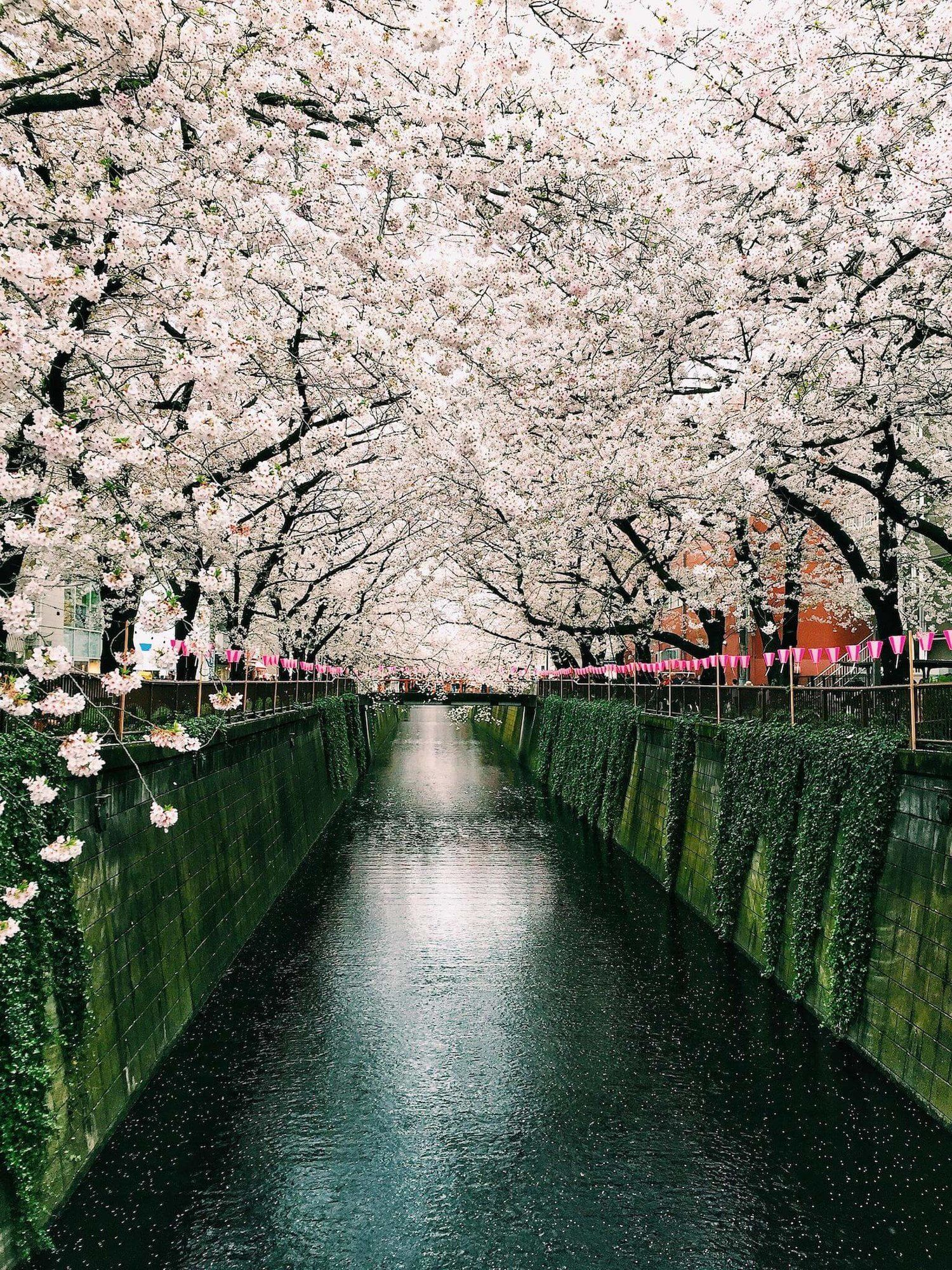 Meguro River Satisfying Pictures Cherry Blossom Cherry Blossom Japan