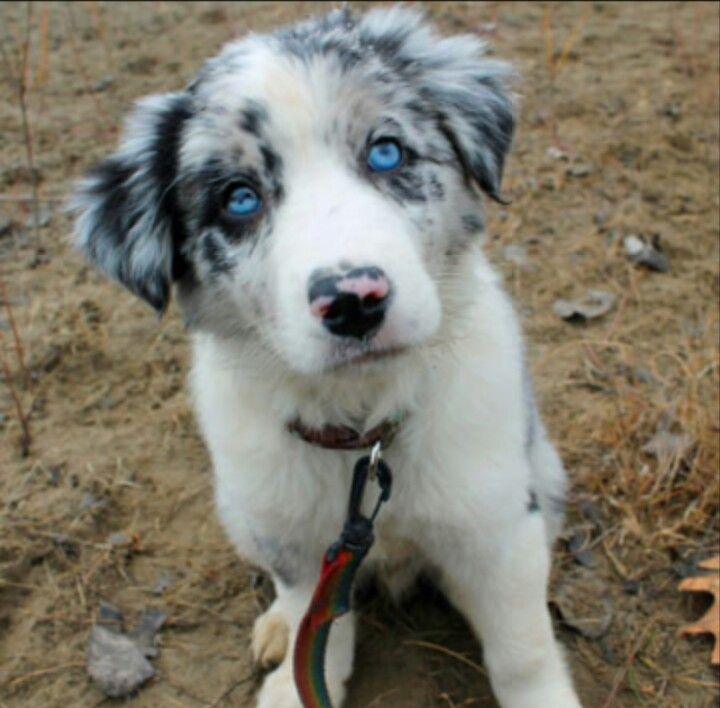Boarder Collie Collie Puppies