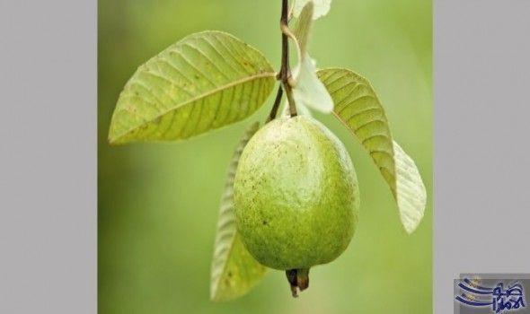 الجوافة تفيد مرضى السك ري وتعالج تساقط الشعر ت عد فاكهة الجوافة من الأغذية الموسمية وتتميز برائحتها القوية المحببة للكبار والصغار وللتمتع Fruit Pear Health
