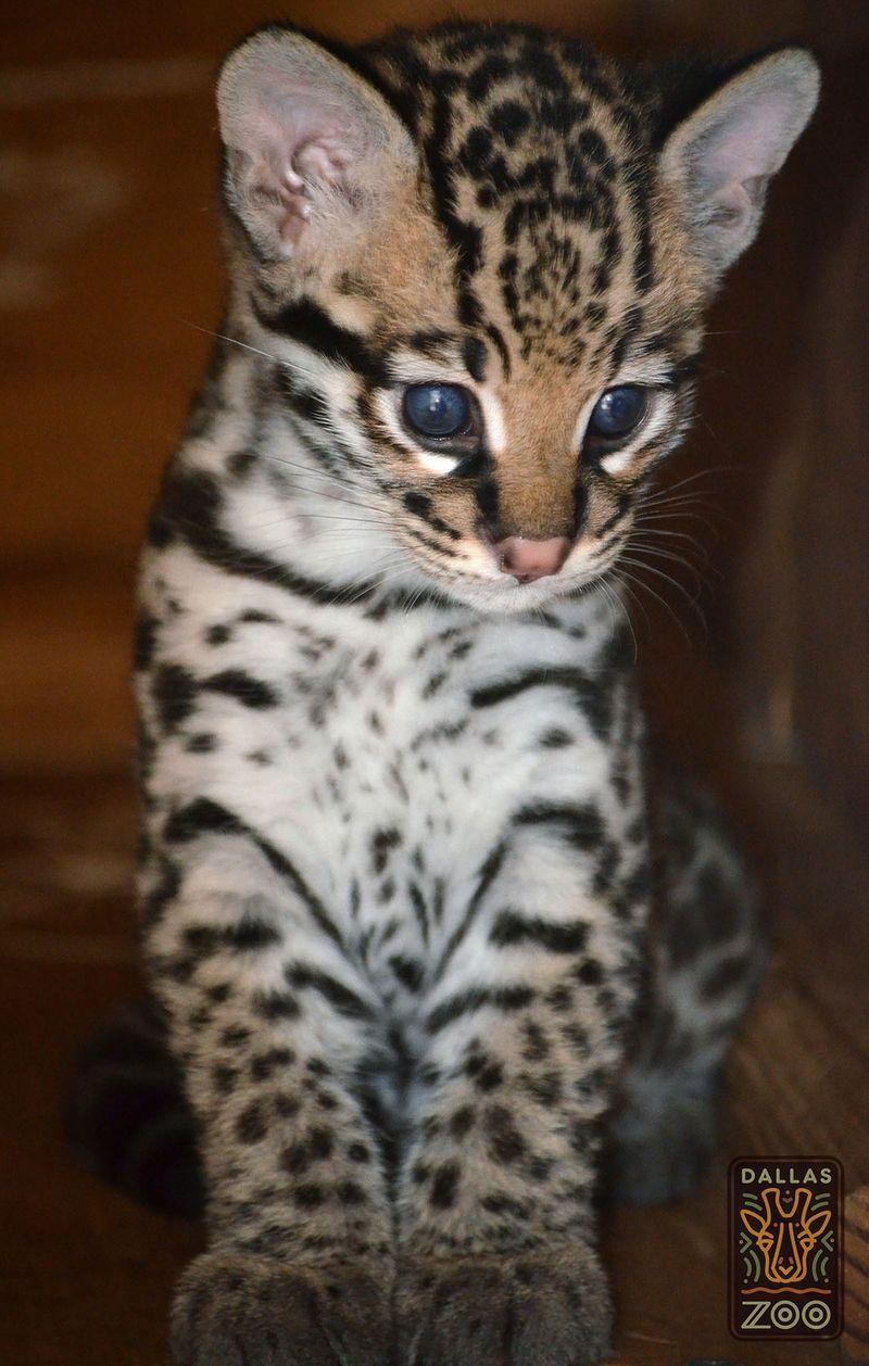 A blue eyed Ocelot kitten born a the Dallas Zoo