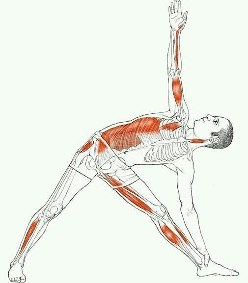 Músculos acionados | skeleton (骨架) | Pinterest | Músculos, Yoga y ...