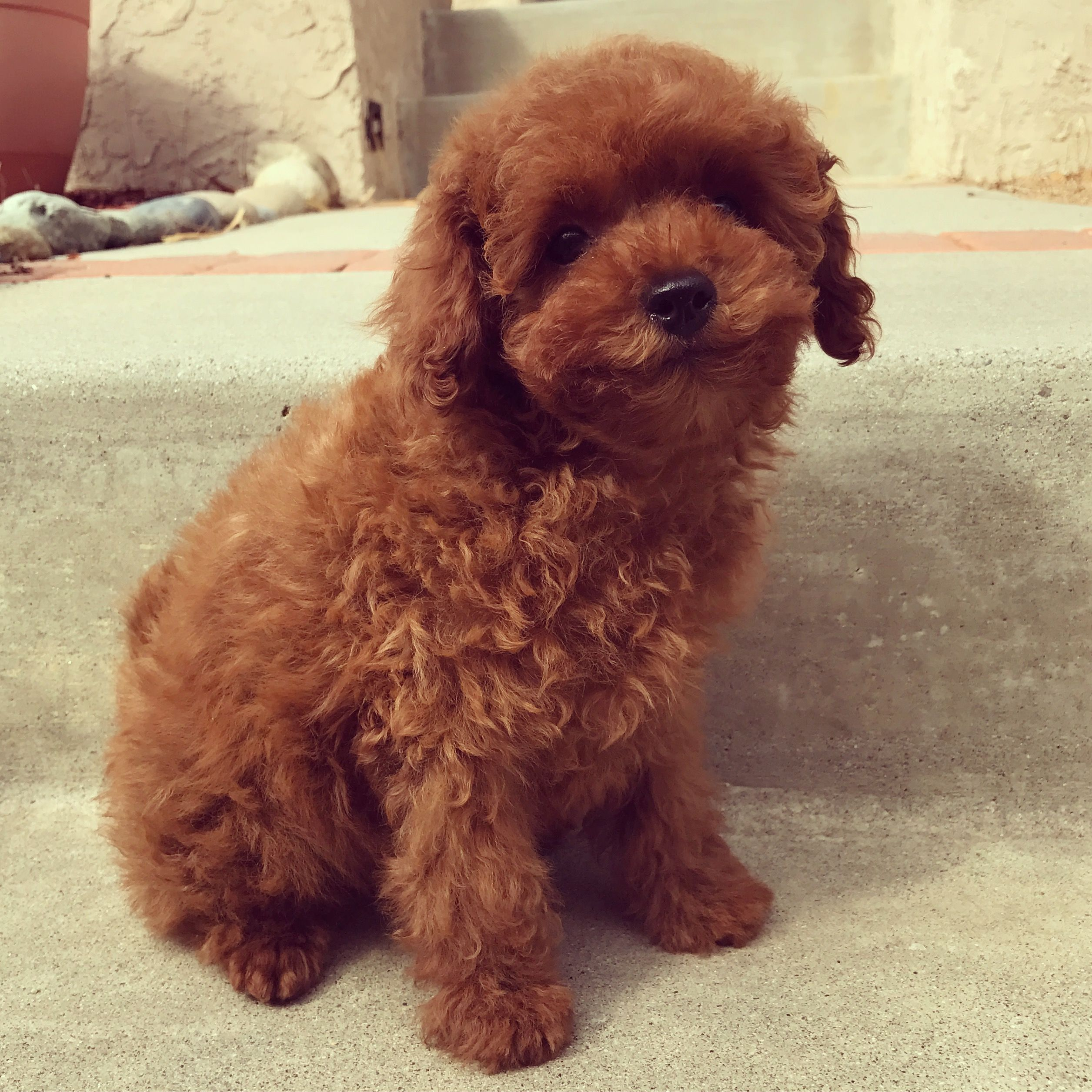 Baby Girl Toy Poodle West Coast Poodles Red Poodle Puppy