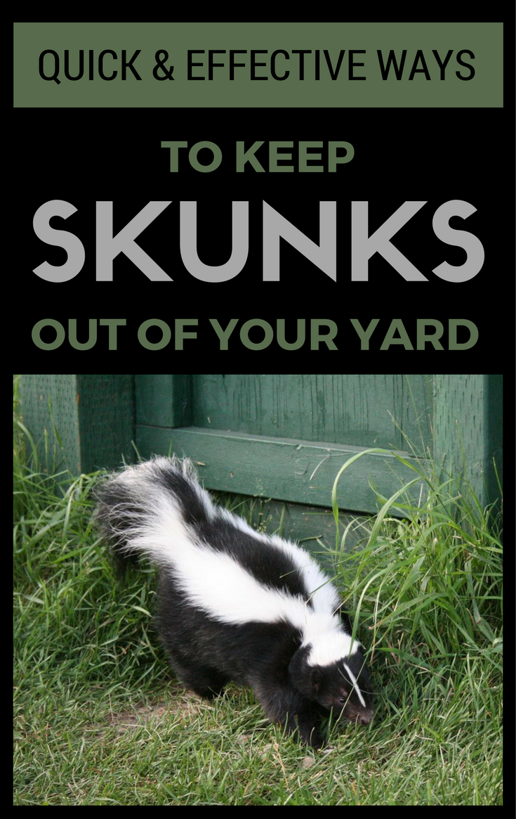 Try These Methods You Just Might Be Successful In Getting Rid Of Skunks Thus If You Don T Know How To Keep Skunks Skunk Smell In House Skunk Skunk Repellent
