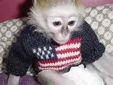capuchin monkey with clothes
