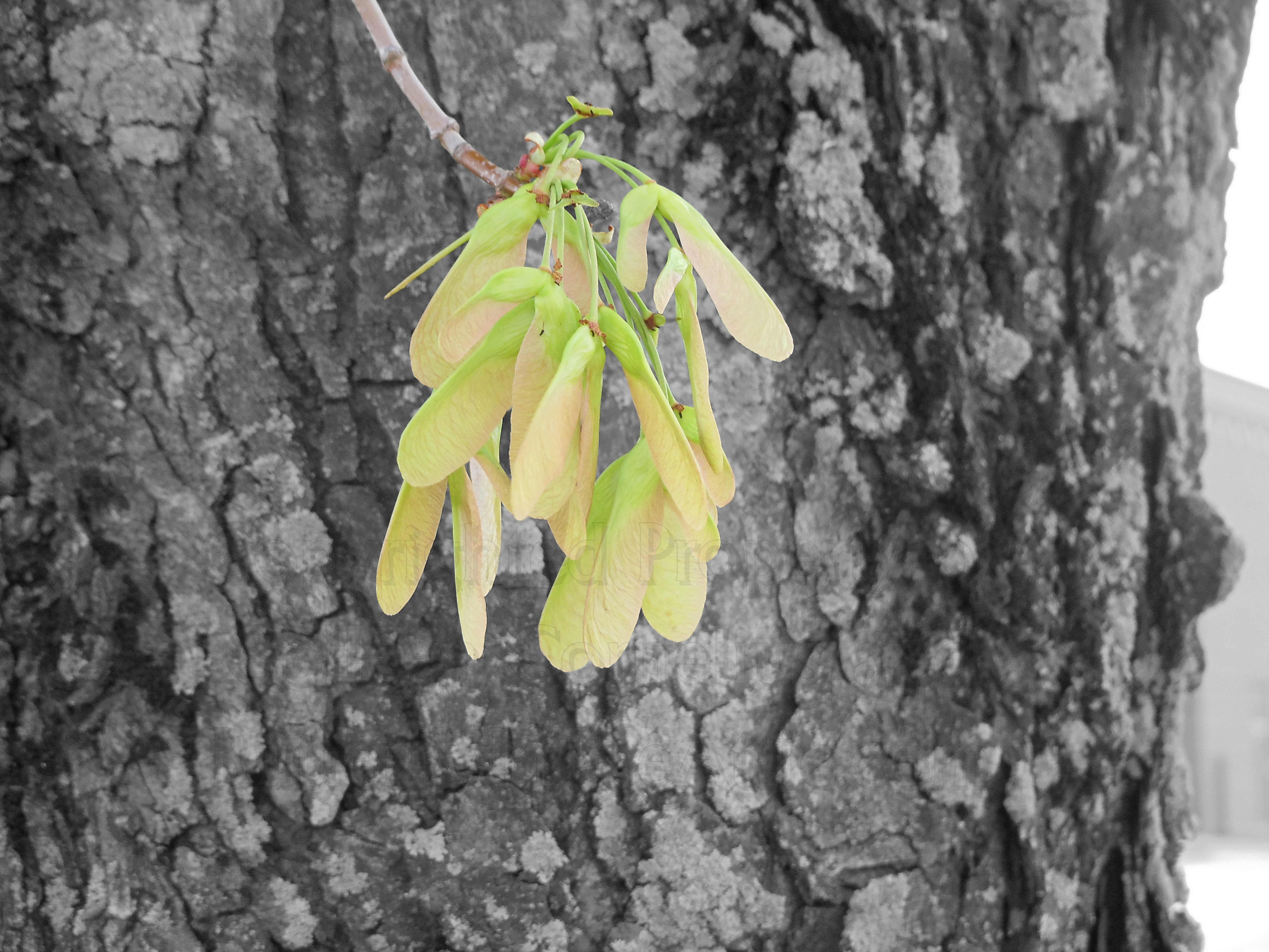 Maple Whirligigs on Black & White Tree Bark Background Nature ...