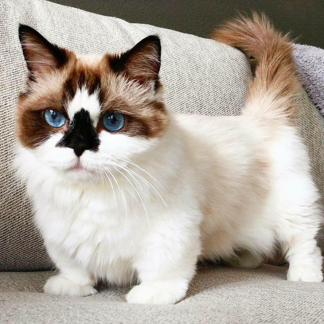 pingl par ginette provost sur chats pinterest cats kittens et munchkin cat. Black Bedroom Furniture Sets. Home Design Ideas