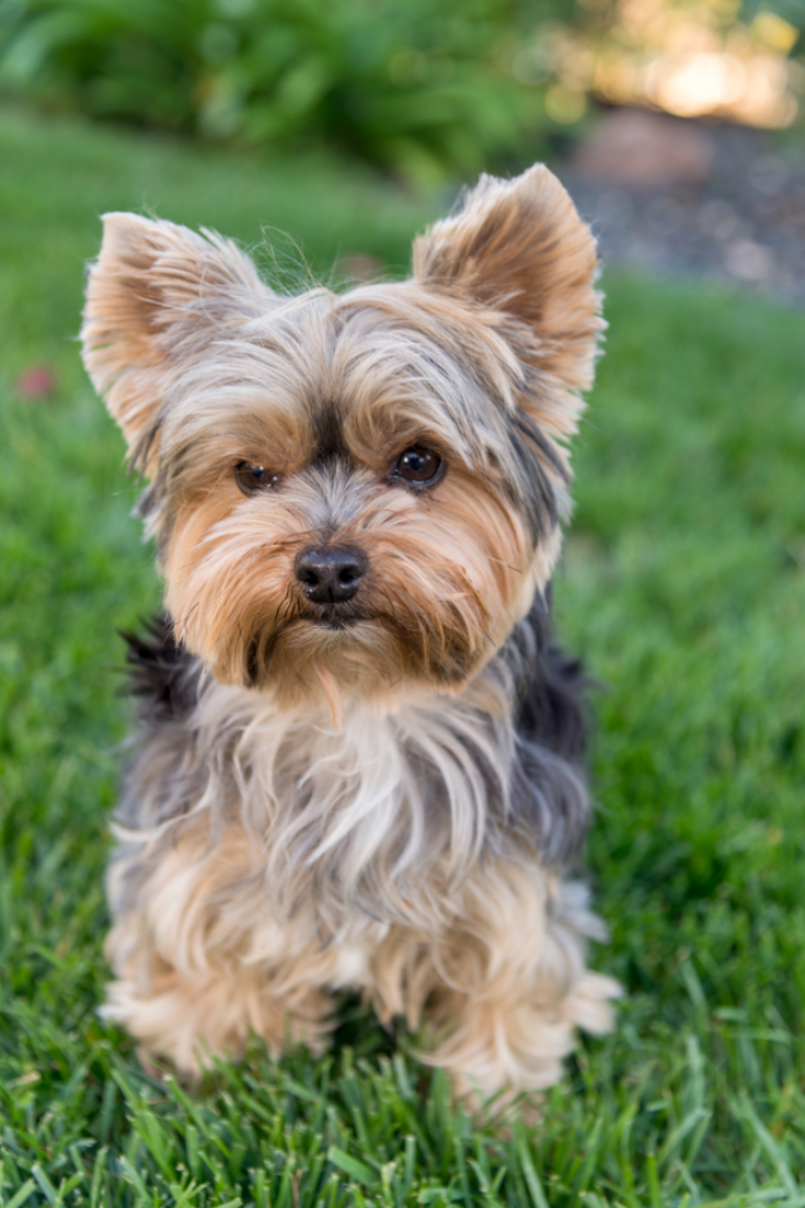 Cute Yorkshire Terrier Dog On Green Grass Yorkie Yorkshireterrier In 2020 Yorkshire Terrier Dog Yorkie Puppy Yorkshire Terrier Puppies