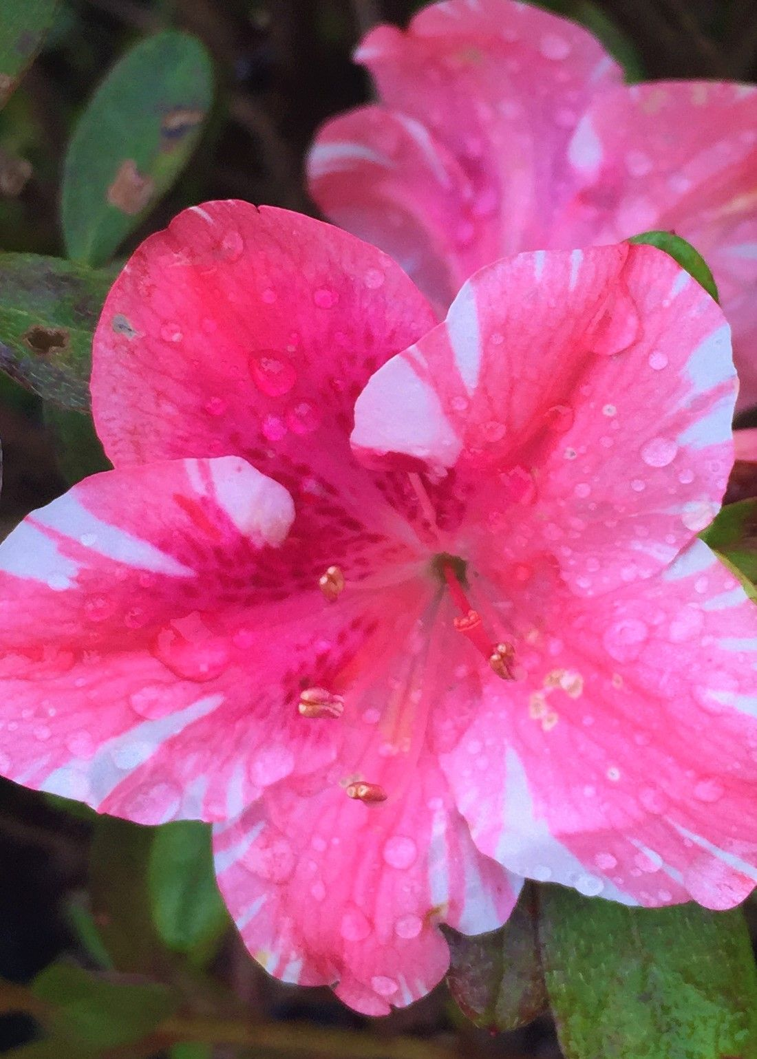 The Dogwood Azalea Is A Beautiful Spring Blooming Rhododendron This Selection Produces Bright White And Pink Variegated Trumpet Shaped B Azaleas Dogwood Bloom