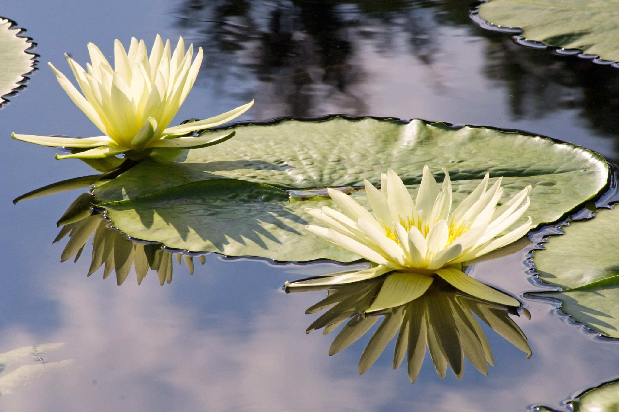 Beautiful White Lotus Water Plant Stock Image - Image ...