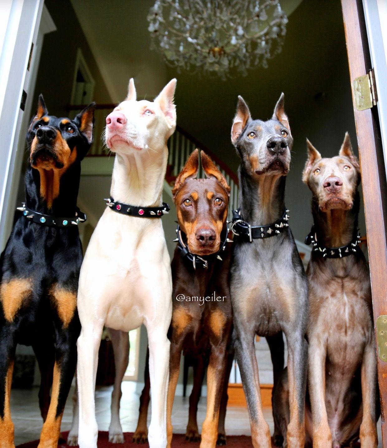 The Multicolour Doberman Gang S All Here Doberman Pinscher Dog