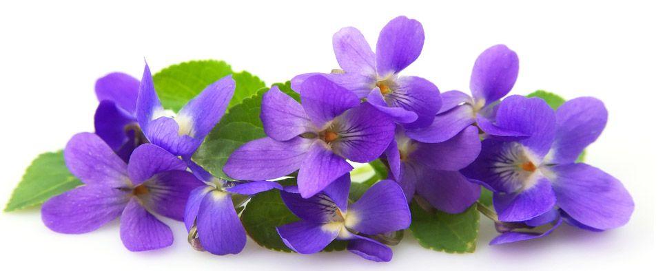 """Résultat de recherche d'images pour """"legende de la violette"""""""