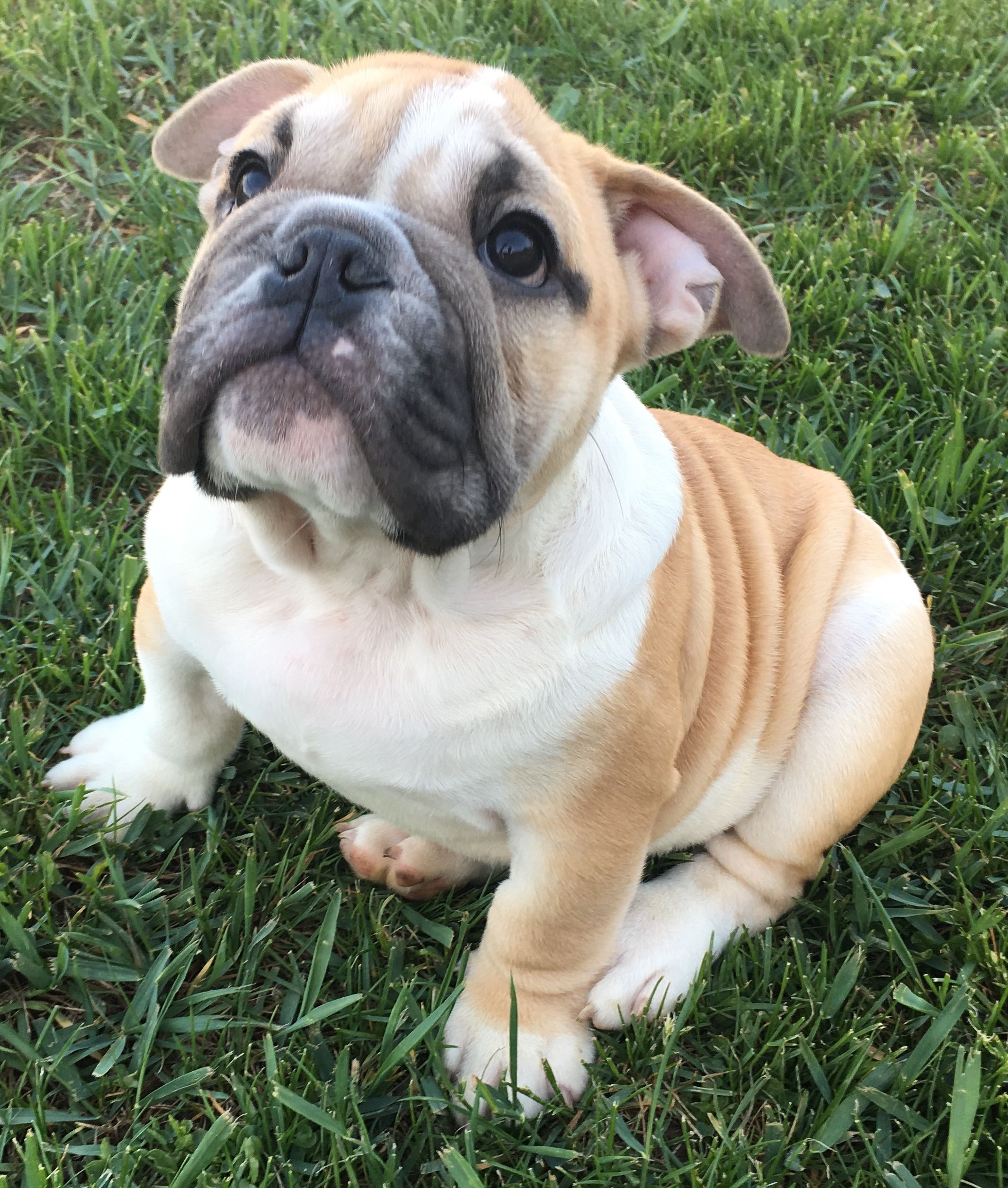 Alvin Is A Fawn Male English Bulldog Puppy American Born And Raised With Champion Lines Being S Cute Dogs And Puppies English Bulldog Puppy Puppies
