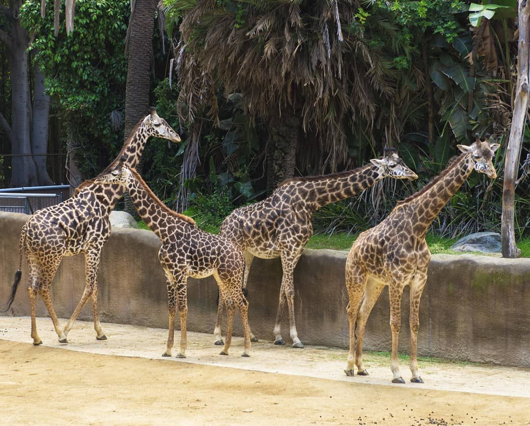 5 Giraffes From The Los Angeles Zoo Recordingguitar Recordingvocals Recordingbass Recordingdrums Recordinglife Recordi Los Angeles Zoo Giraffe Zoo