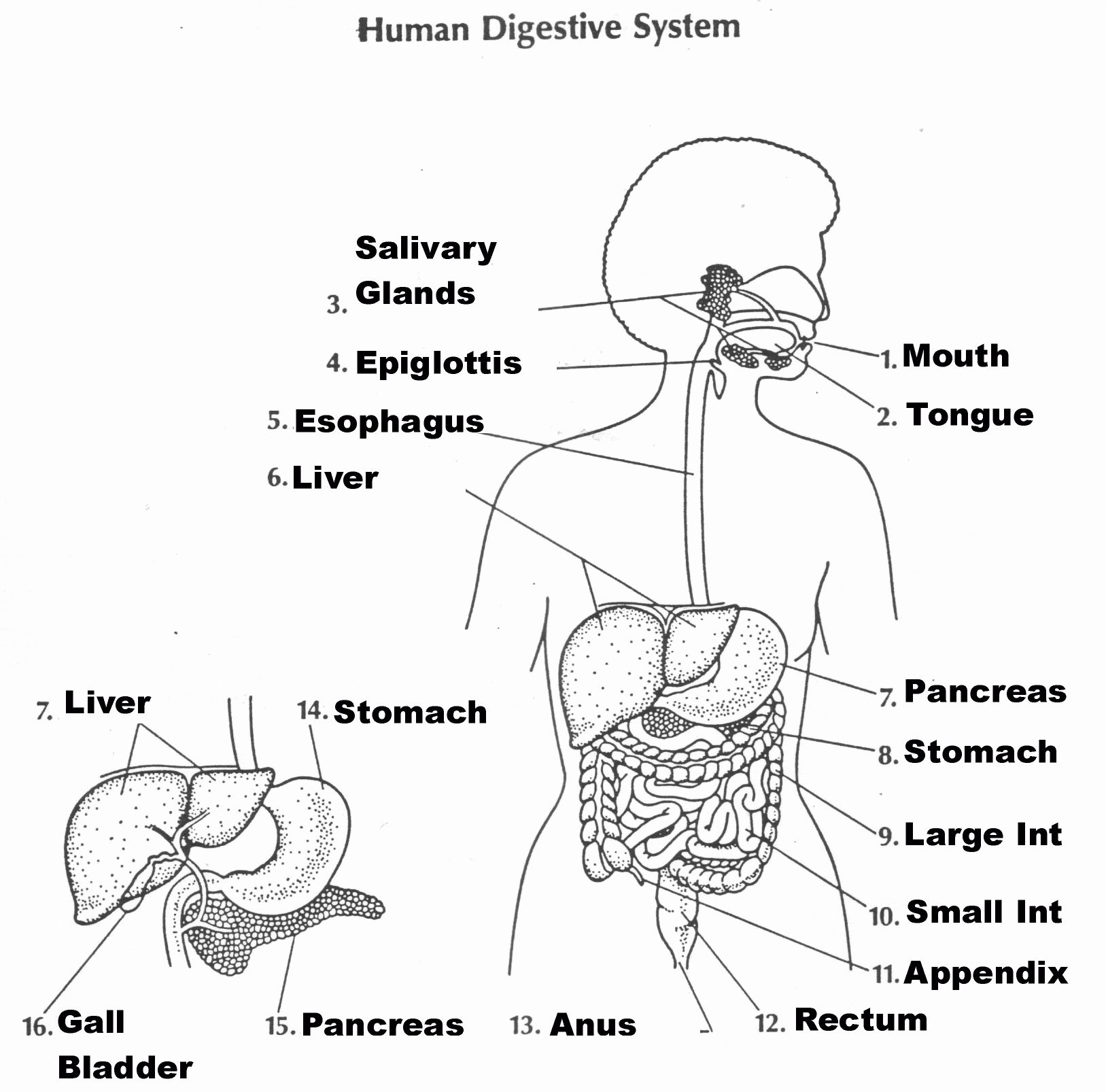 Digestive System Coloring Page Beautiful Coloring Page For