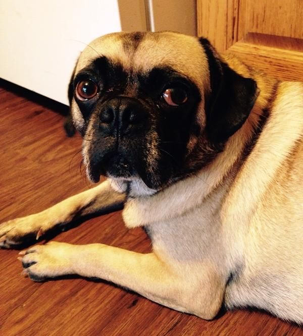 Adopt Buddy Adopted On Pug Breed Pug Love Pug Rescue