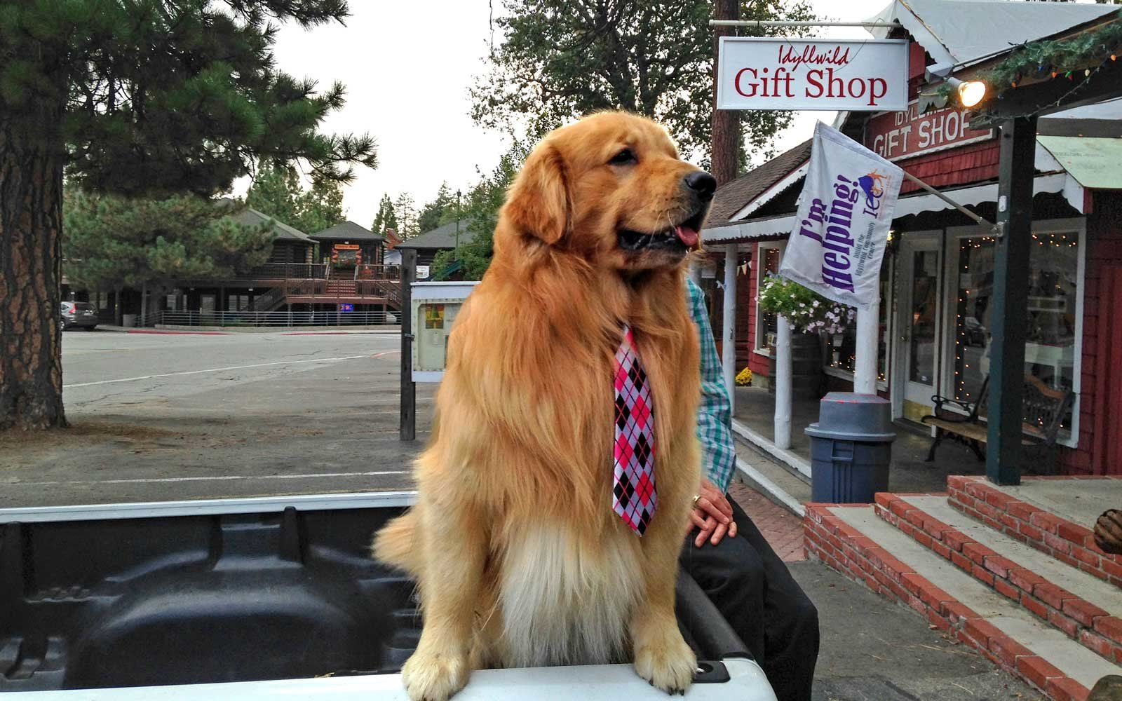 This California Town Has A Dog For A Mayor And You Can Request A Meeting With Him Golden Retriever Retriever Idyllwild