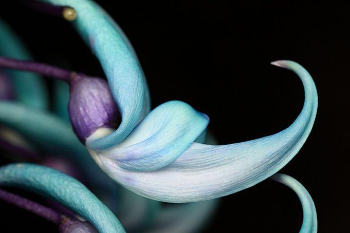 Najpiekniejsze Kwiaty Swiata Unique Plants Jade Vine Plants