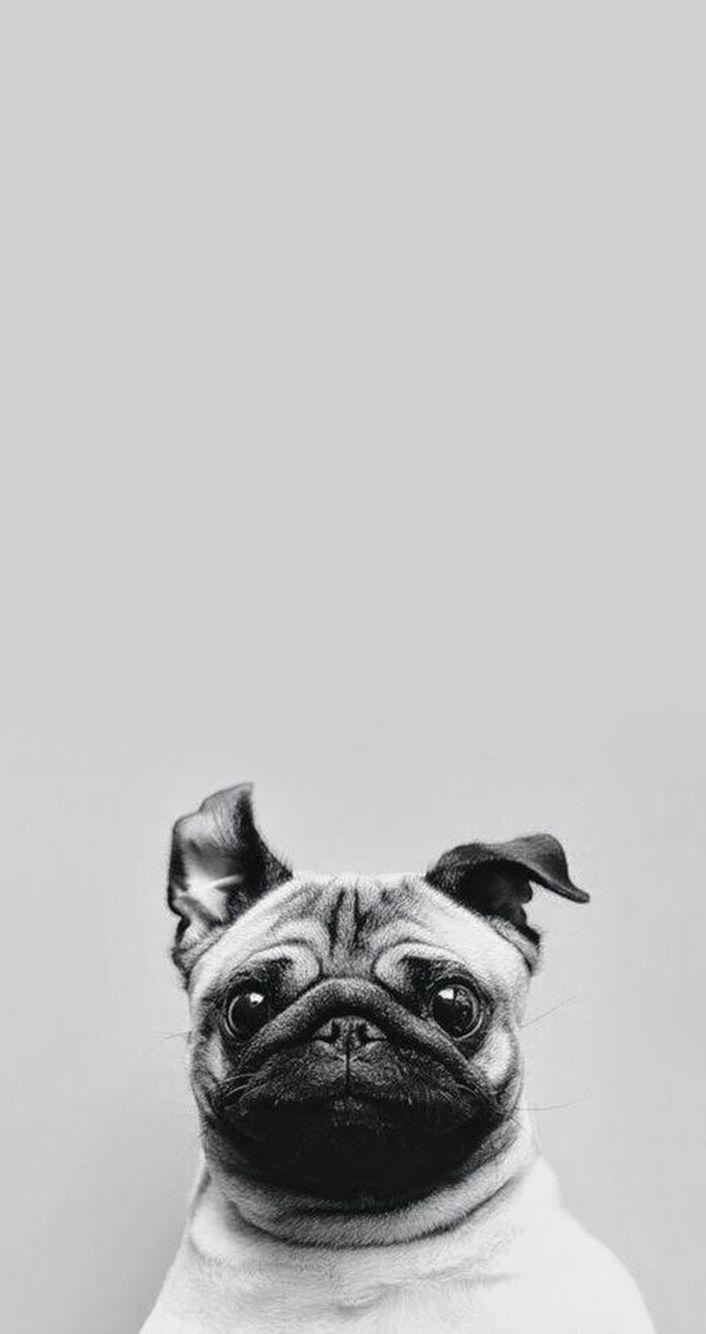 Wallpaper for iPhone 6 ชีวิตปั๊ก, ปั๊ก, หมาปั๊ก