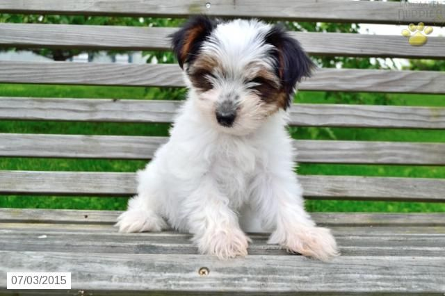 Yorkshire Terrier Puppy For Sale In Ohio Buckeyepupppies Yorkshire Terrier Puppies Yorkshire Terrier Puppies For Sale