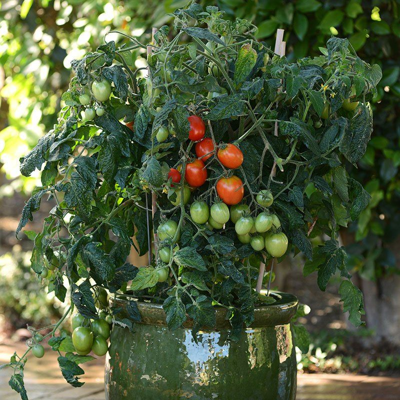 Light Full Sun Matures 60 To 65 Days After Planting Fruit Size 2 To 2 Ounces Plant Spacin Cherry Tomato Plant Cherry Red Tomatoes Vegetable Garden Planters