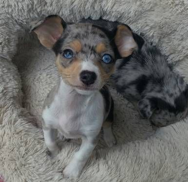 2 female blue merle Chihuahuas for sale ...........click here to find out more http://googydog.com