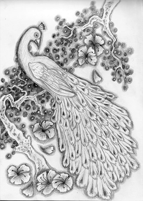 Gallery For Gt Pencil Drawing Pictures Of Peacock With Images