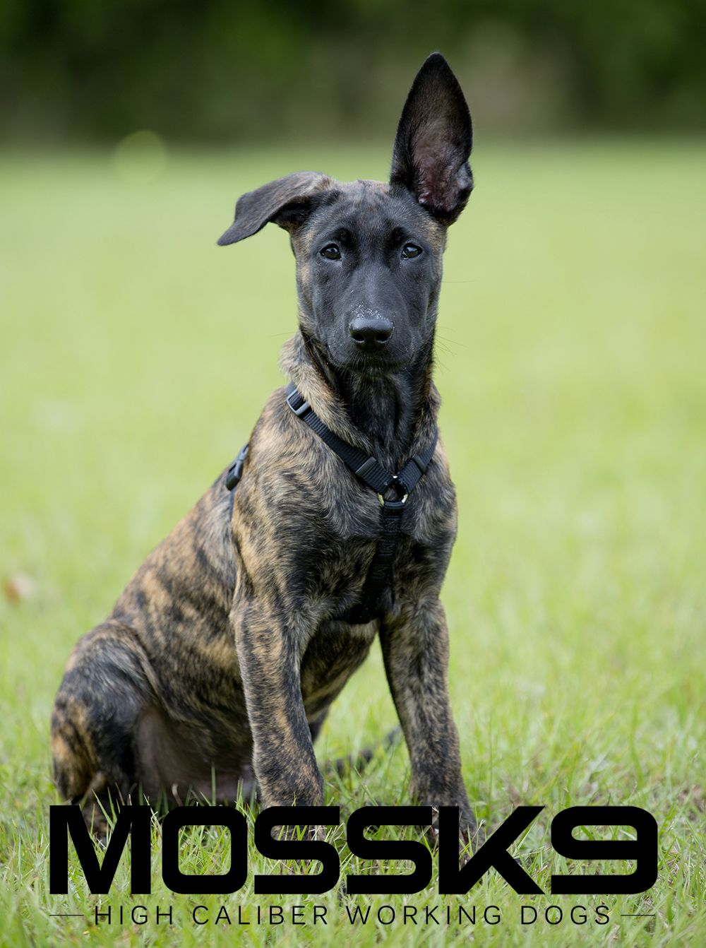Knpv Dutch Shepherd Belgian Malinois Working Dog Puppy Moss K9 Cute Baby Animal Puppy Belgian Malinois Working Dogs Belgian Malinois Dog