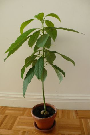 Should I Prune My Avocado Tree Avocado Plant Avocado Tree Avocado Seed Growing