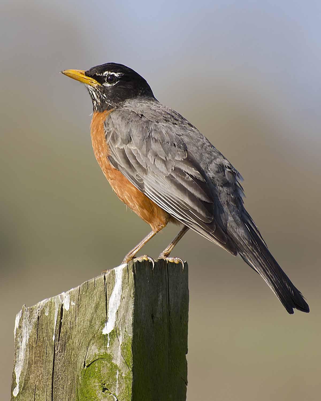 American Robin, Michigan State Bird