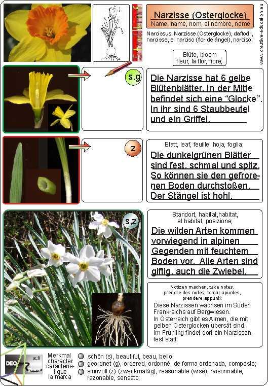 Narzisse steckbrief Botanikus: Narzisse