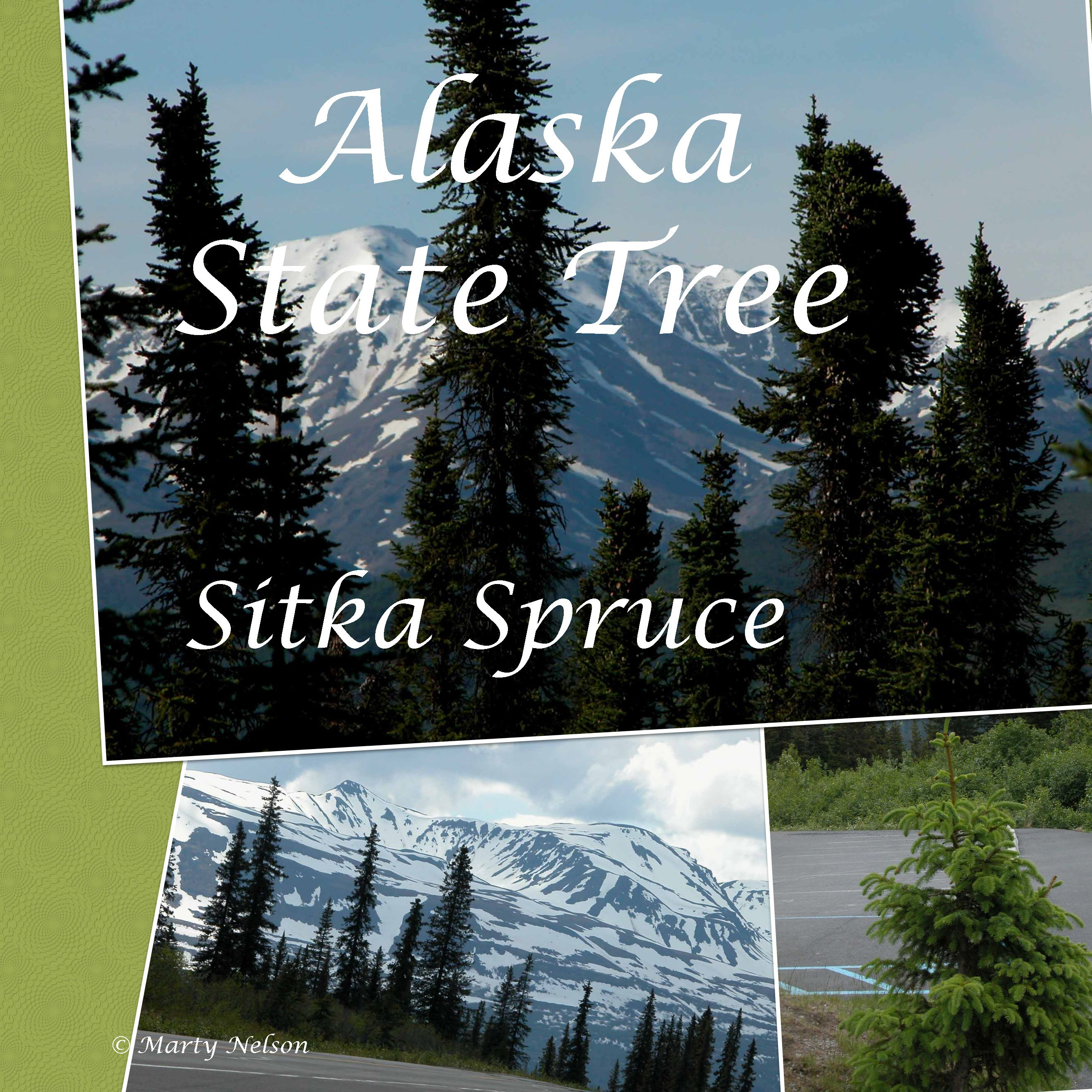 Sitka spruce alaska state tree photo copyright by marty nelson find this pin and more on usa state symbols free biocorpaavc Image collections