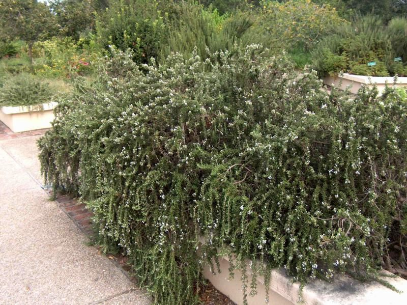 Full Size Picture Of Prostrate Rosemary Creeping Rosemary Prostratus Rosmarinus Officinalis Rosemary Plant Plants Salvia